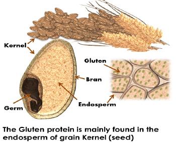 gluten diagram